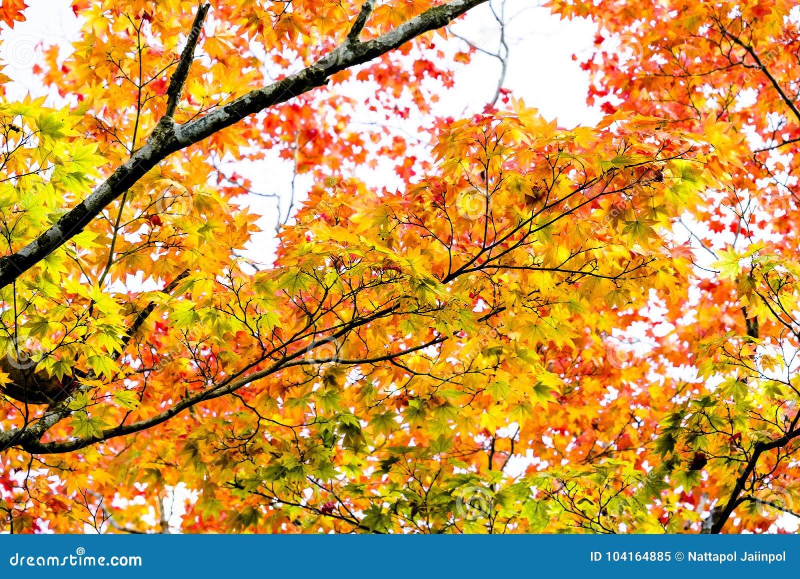Maple Autumn Sunlight Maple Tree Branch In Autumn Turn To Red