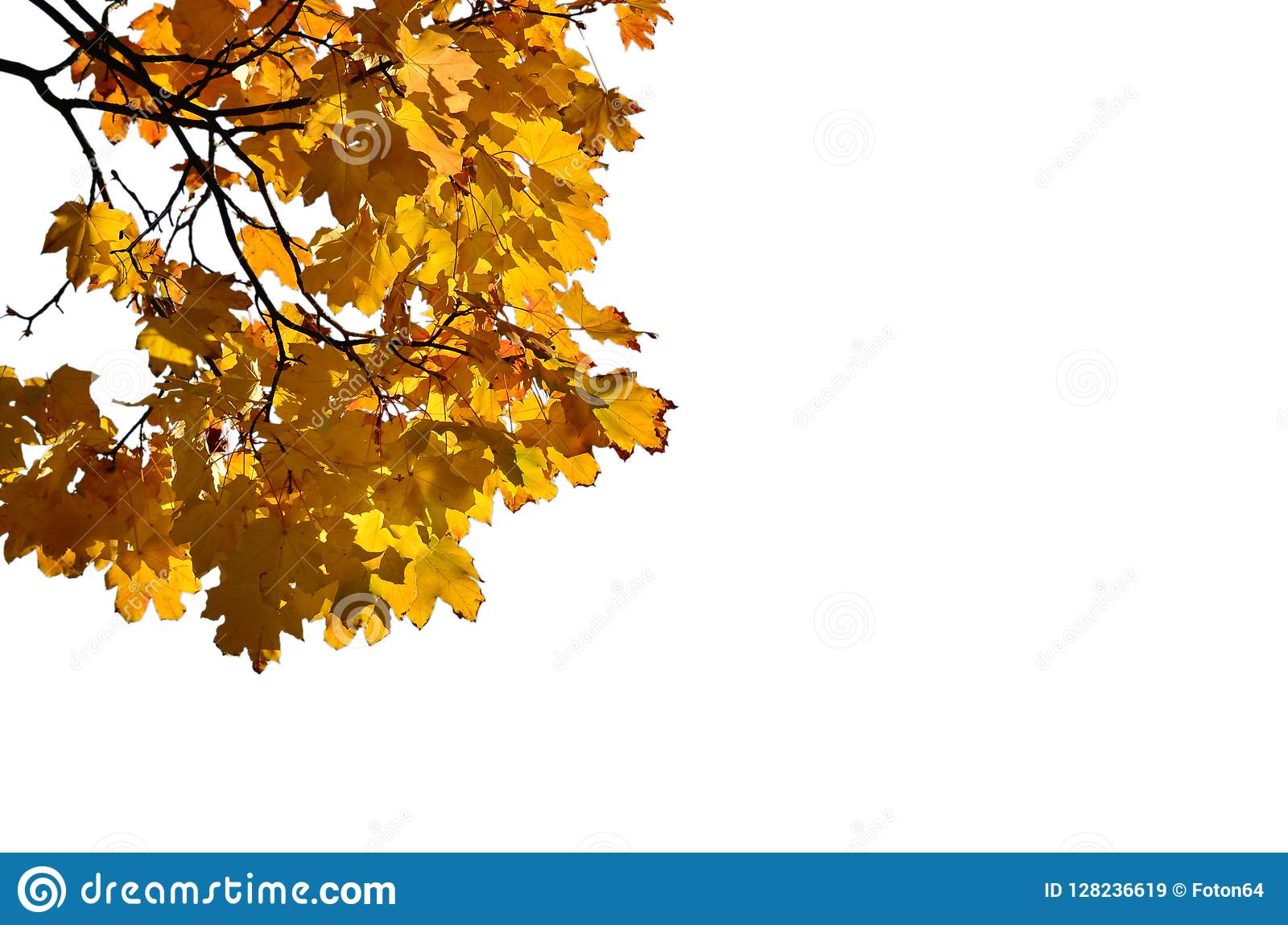 Maple branch with yellow leaves isolated. Autumn colors.