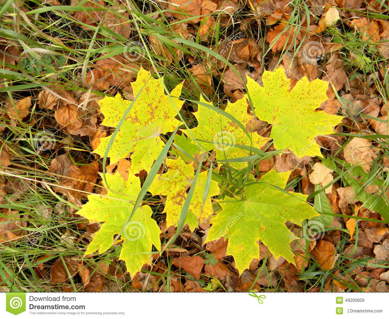 Maple Bush Stock Image Image Of Summer Canadian куст 49200609