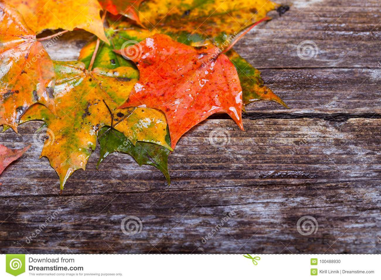Download Maple foliage on the able stock photo. Image of beauty - 100488930