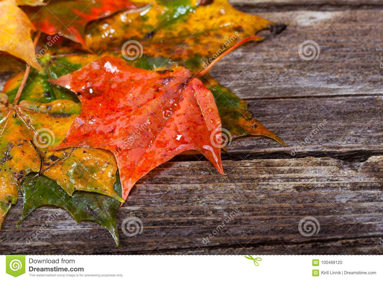 Download Maple foliage on the able stock photo. Image of orange - 100489120