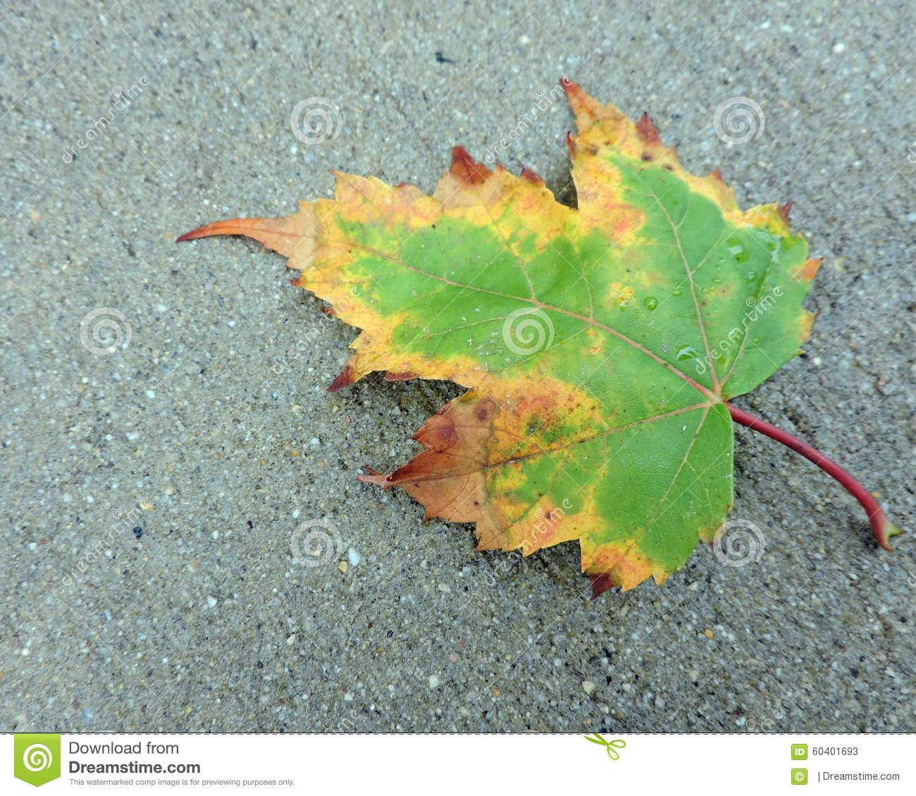 Maple Leaf Changing Color stock image. Image of concrete - 60401693