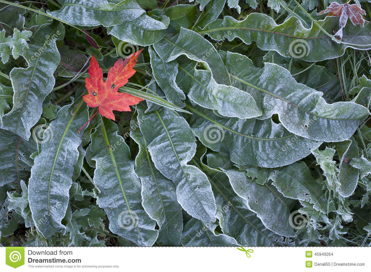 Maple Leaf On Frosted Ground Cover. Stock Photo - Image ...