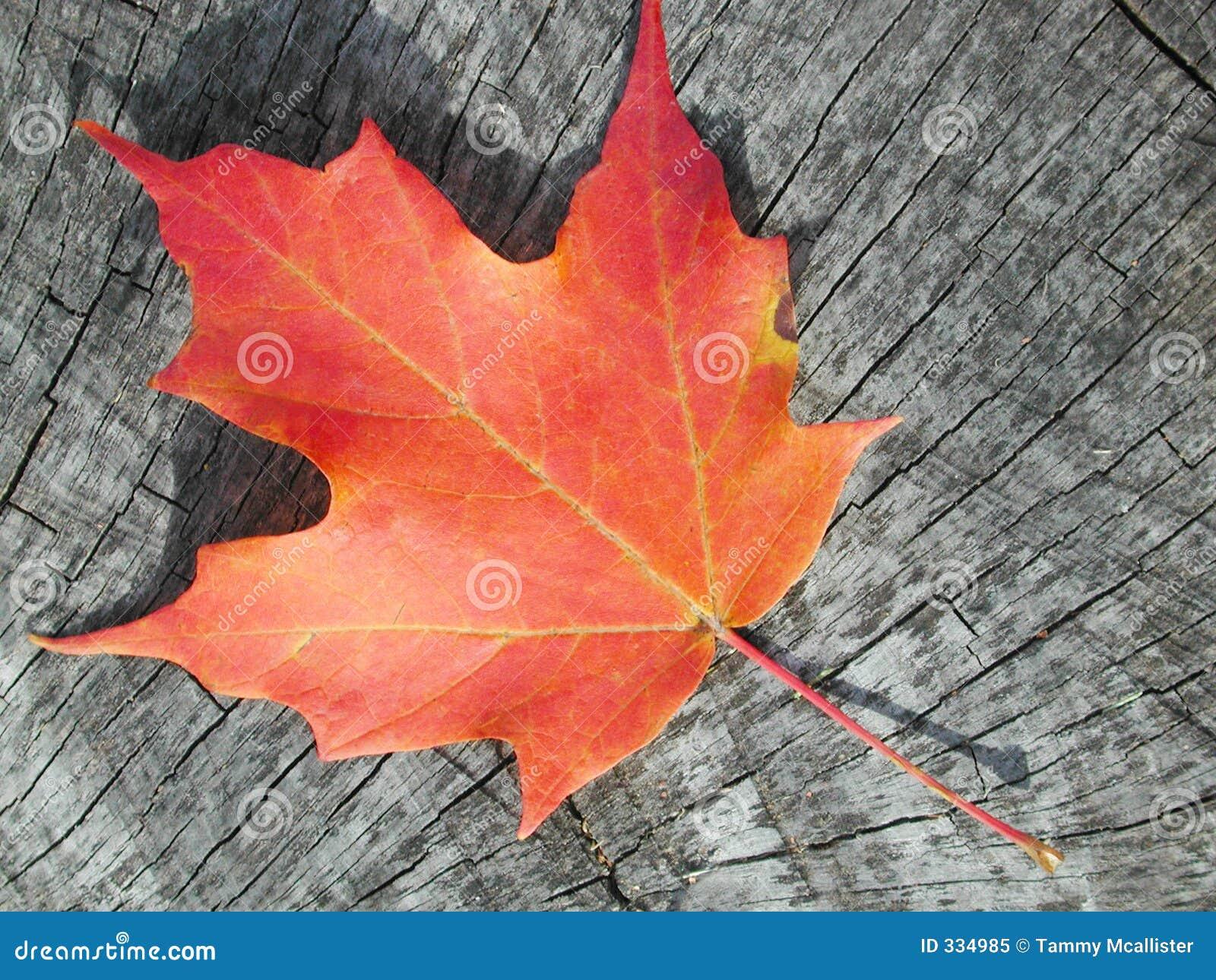 Maple leaf on wood