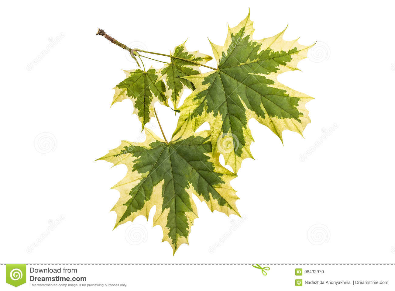 Maple leaves Acer platanoides Drummondii on a white background