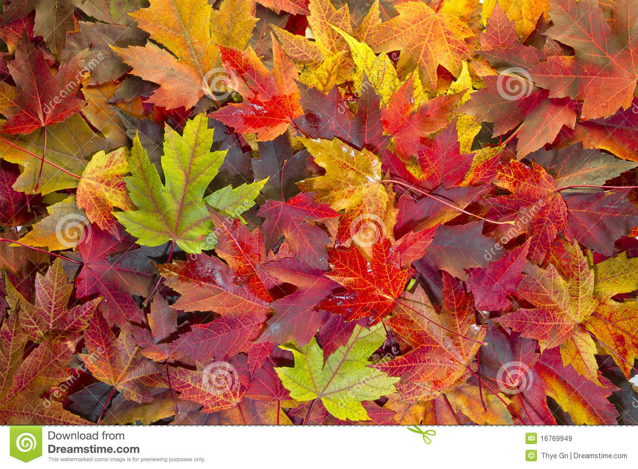 Maple Leaves Mixed Fall Colors Background 2 Royalty Free