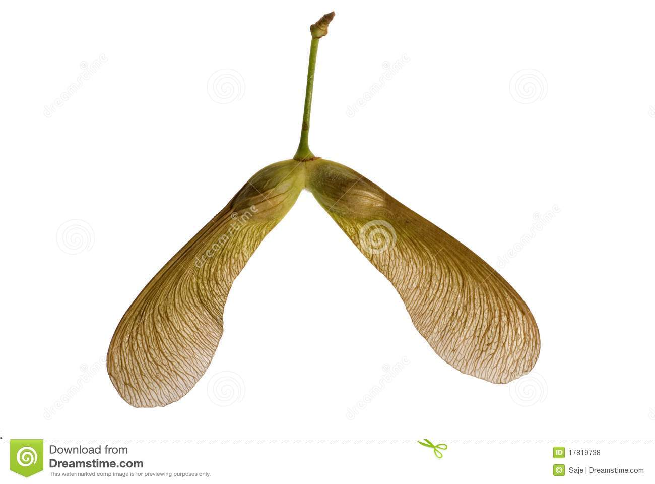 tree seed helicopter with Royalty Free Stock Photos Maple Seed Twins Image17819738 on Seeds What Time Is It In Nature moreover HowToID likewise Deciduous Trees further Ahh To Be Young further Immature Green Maple Seeds Hanging On 515092858.