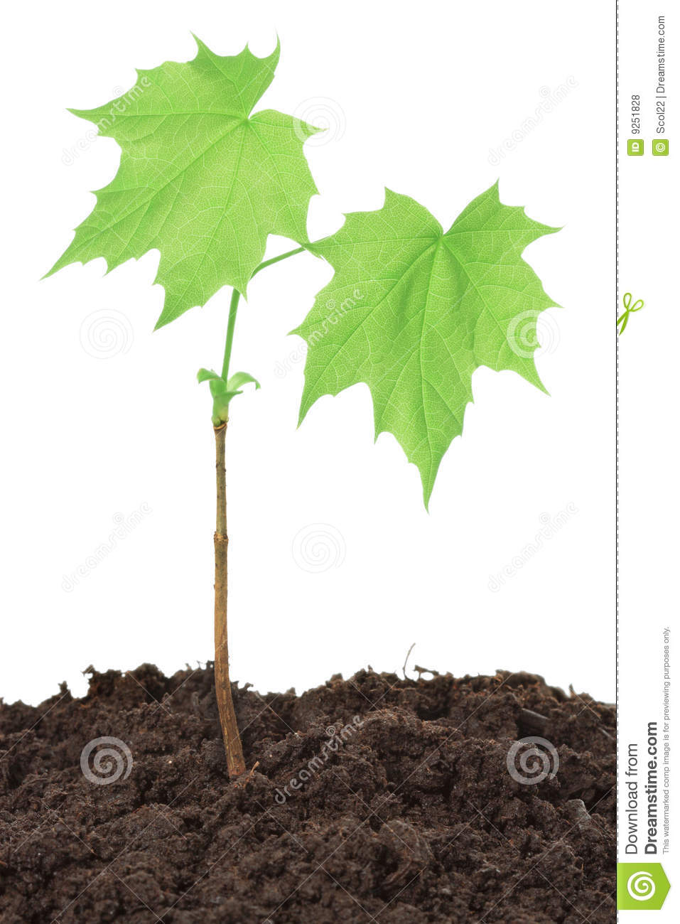 Maple Seedling Royalty Free Stock Photos Image 9251828