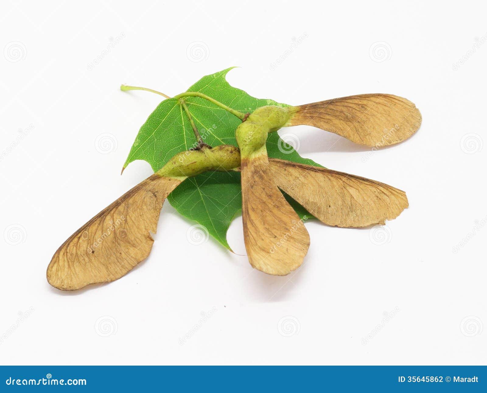Maple seeds and leaf