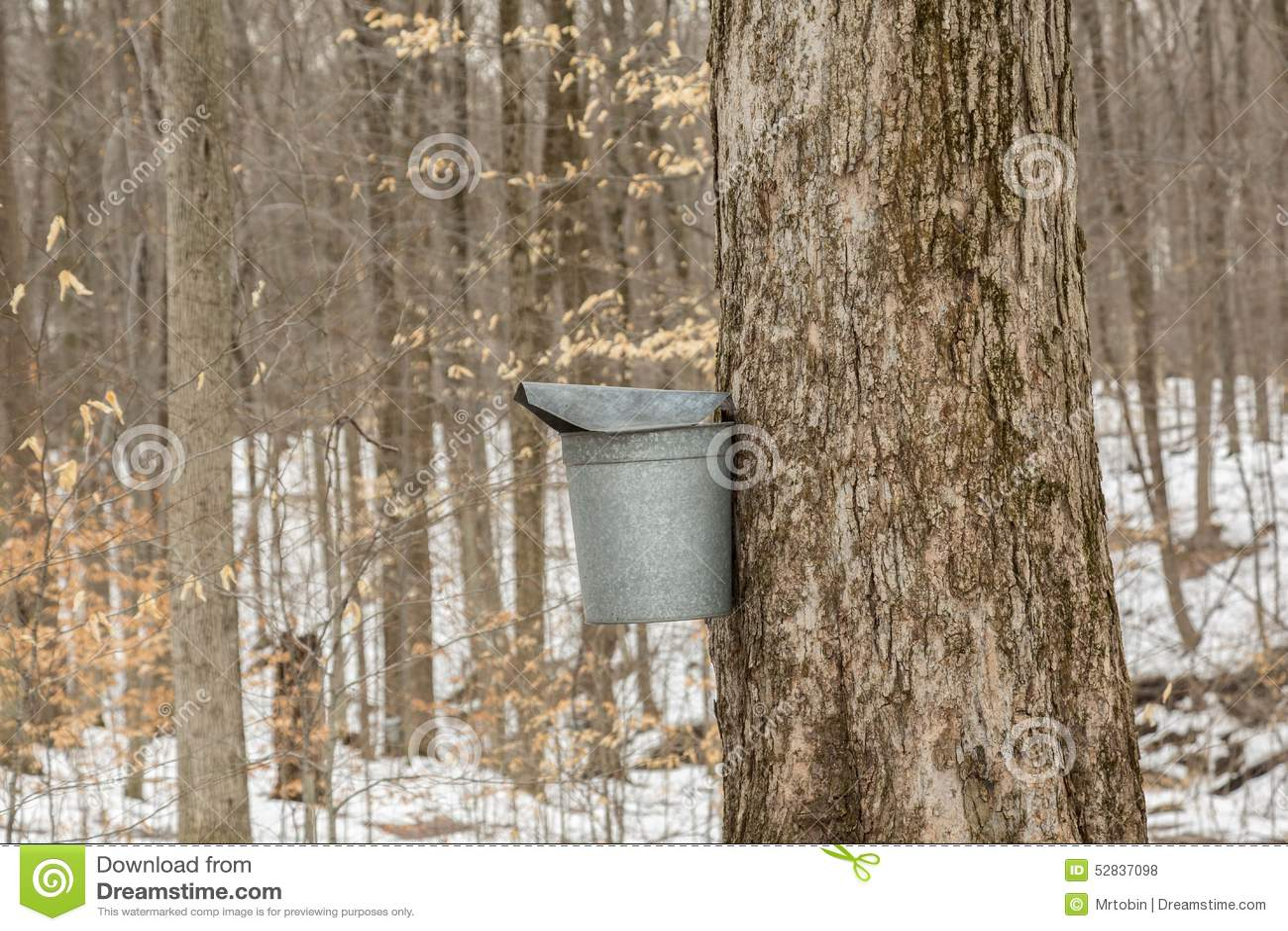 Maple Sugaring Season