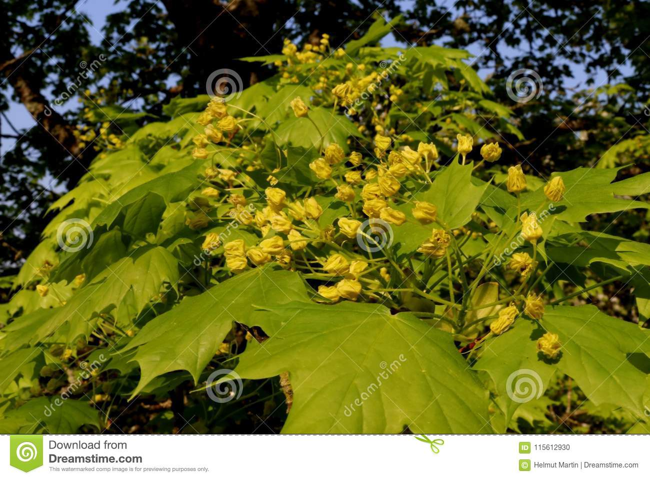 Maple Tree In Blossom With Tiny Yellow Flowers And Fresh Green