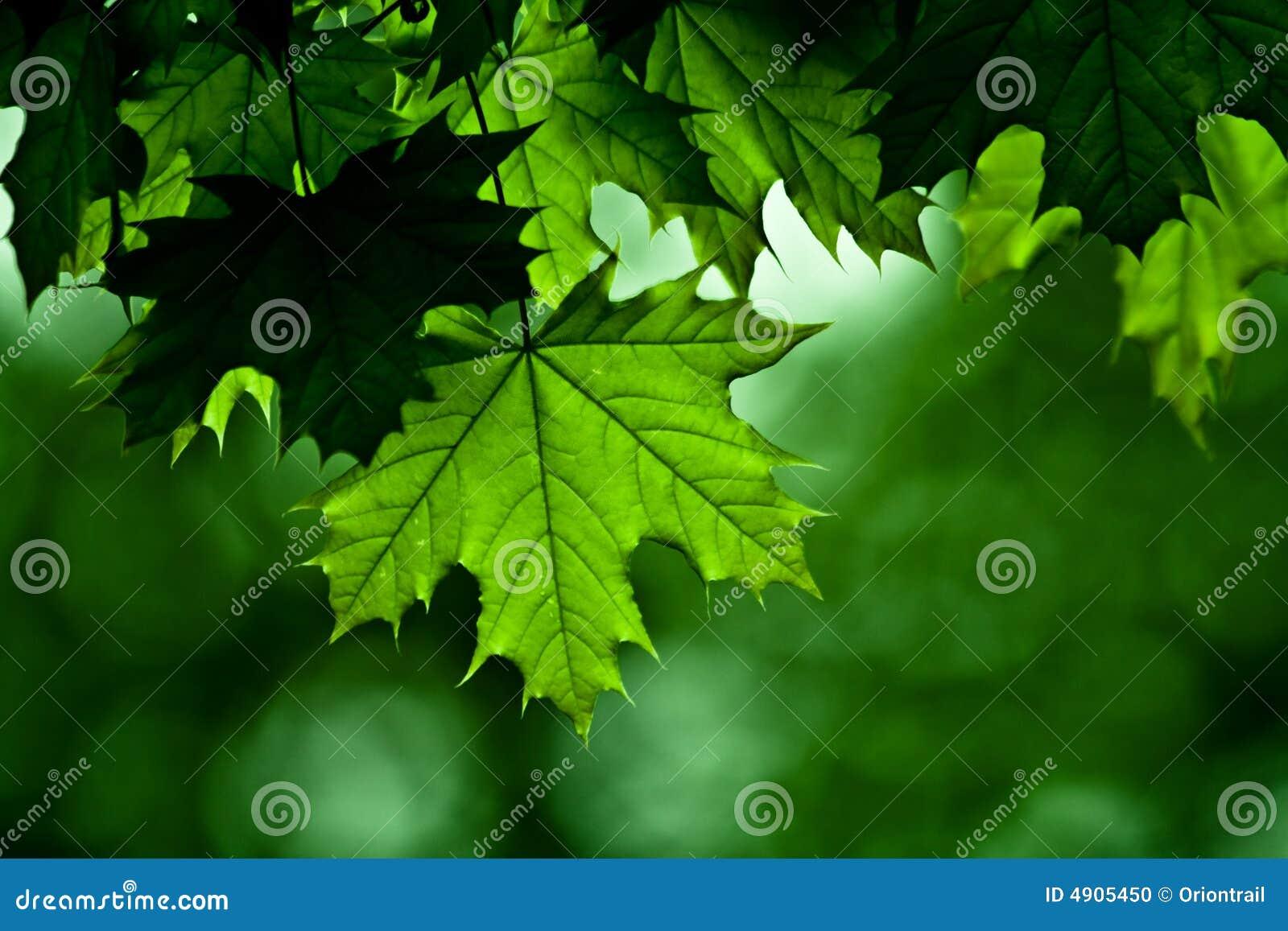 Maple tree detail
