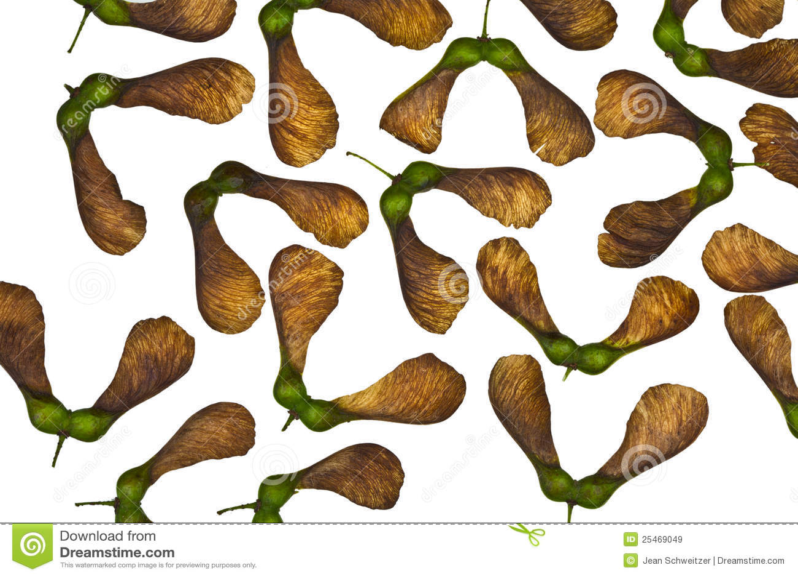 Maple Tree Fruit Royalty Free Stock Images - Image: 25469049