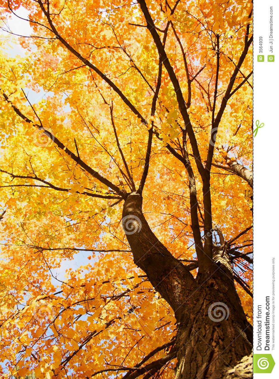 maple tree landscapes royalty free stock images image