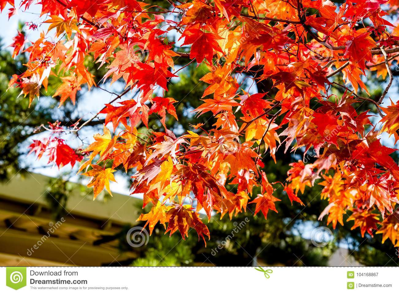 Maple tree roof back ground, maple leaves turn color from green to yellow, orange and bright red, the roof house background in sea