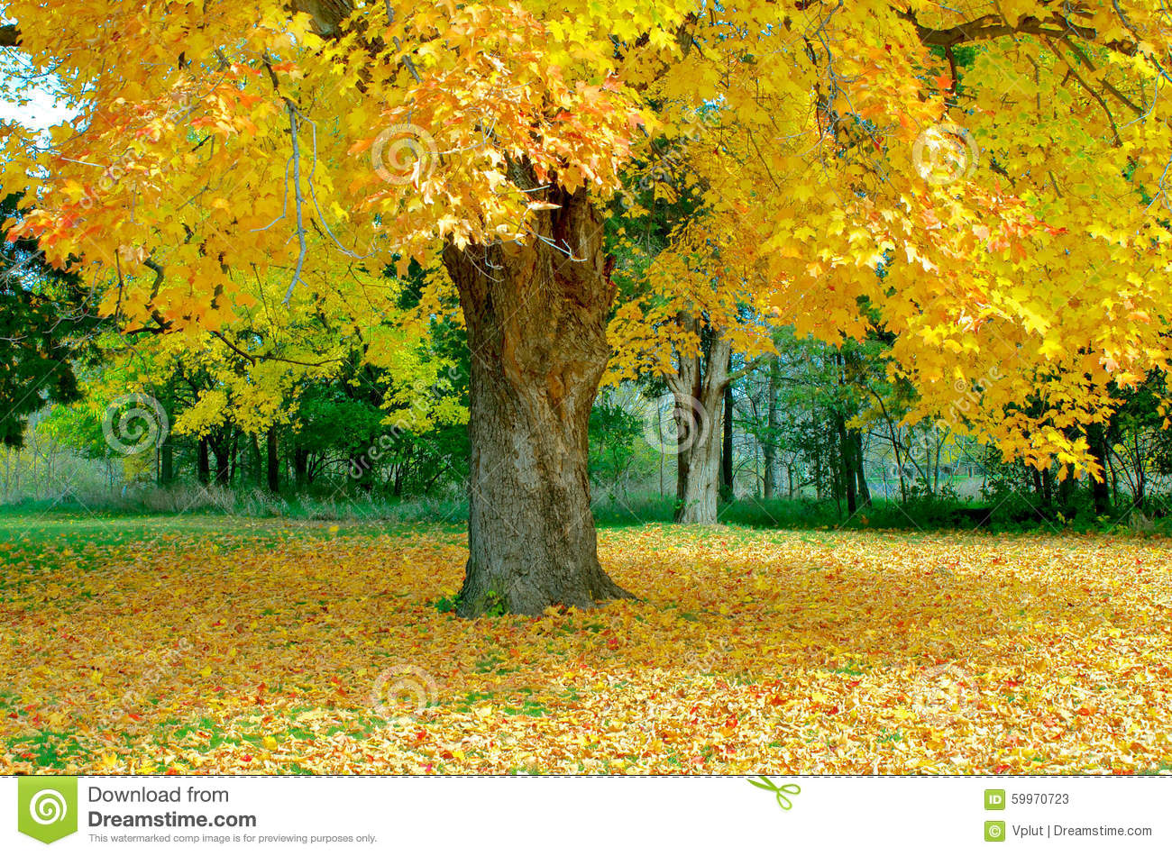 Maple Tree Shedding Leaves In Autumn Stock Image - Image of dying ...