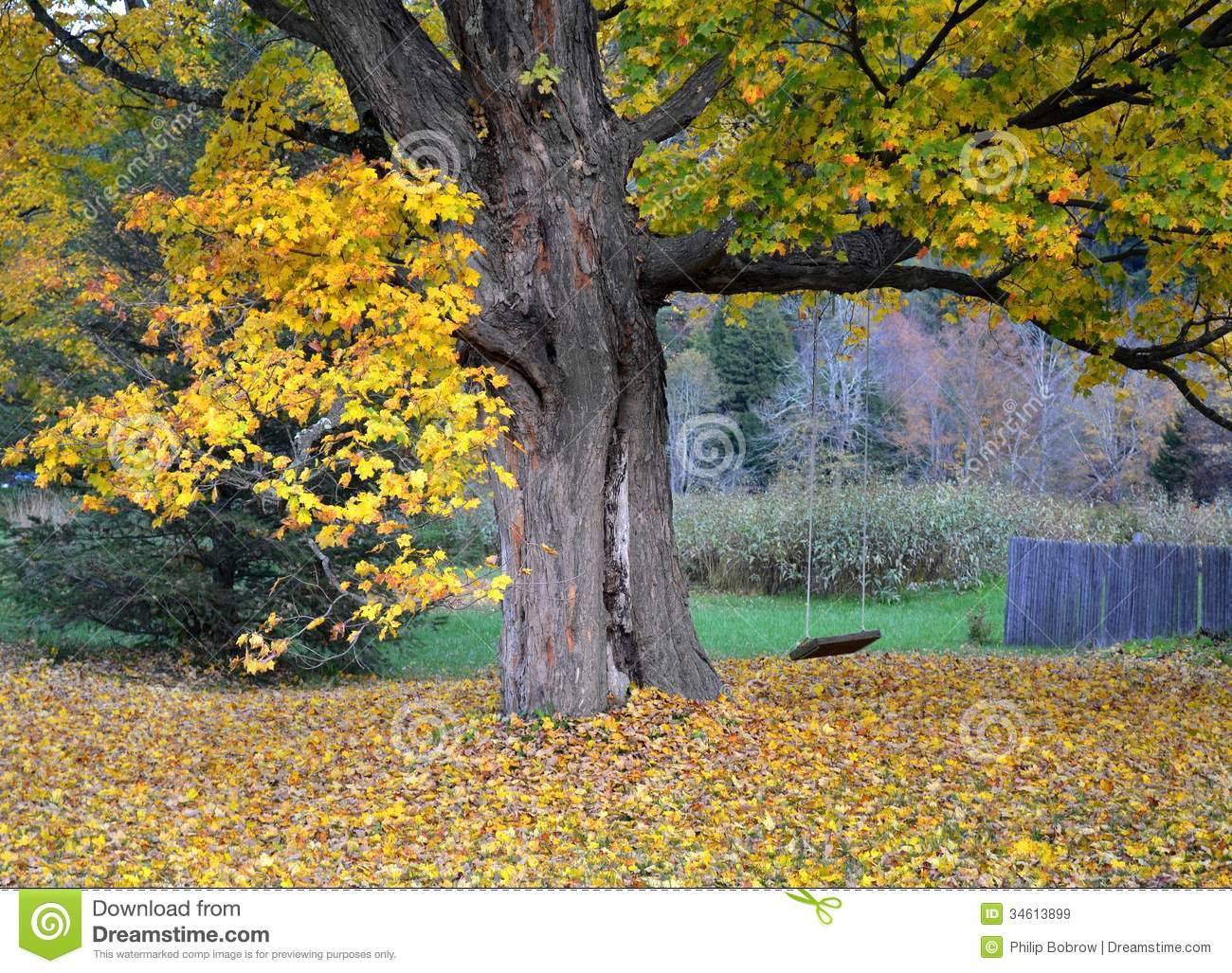 Maple Tree and Swing