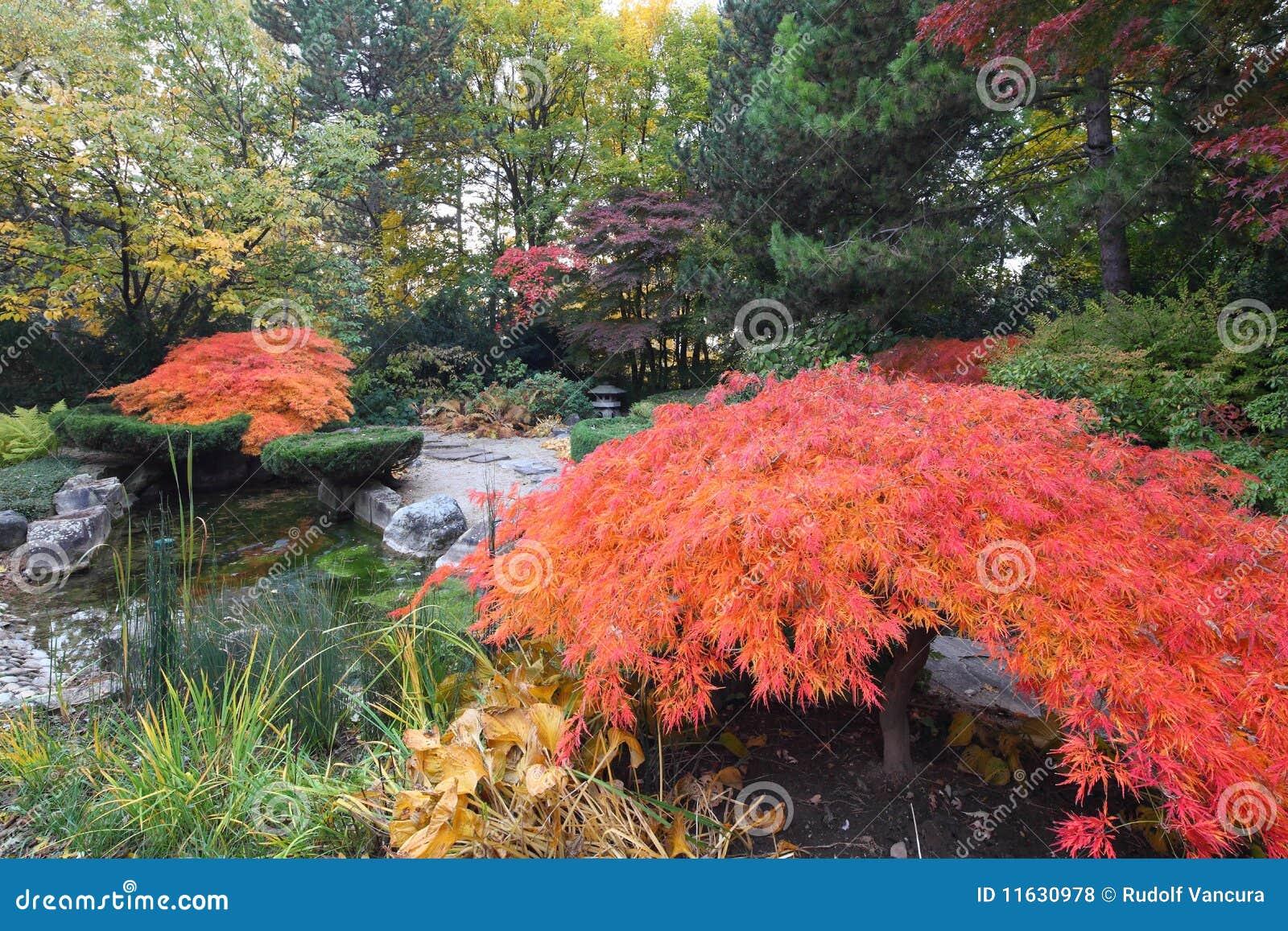 Maple trees in japanese garden royalty free stock photos for Japanese garden trees