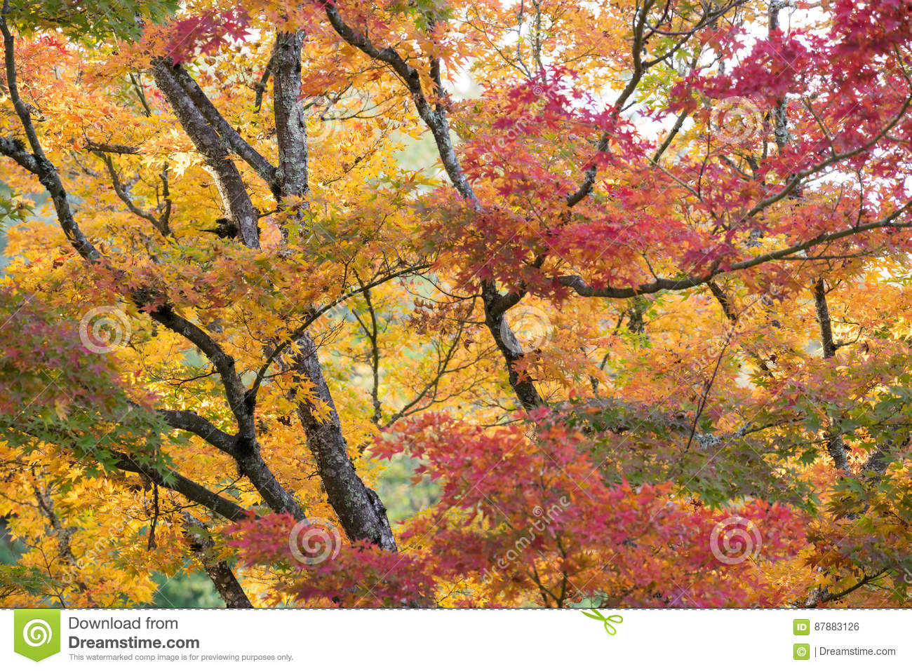 Maple trees in late fall color