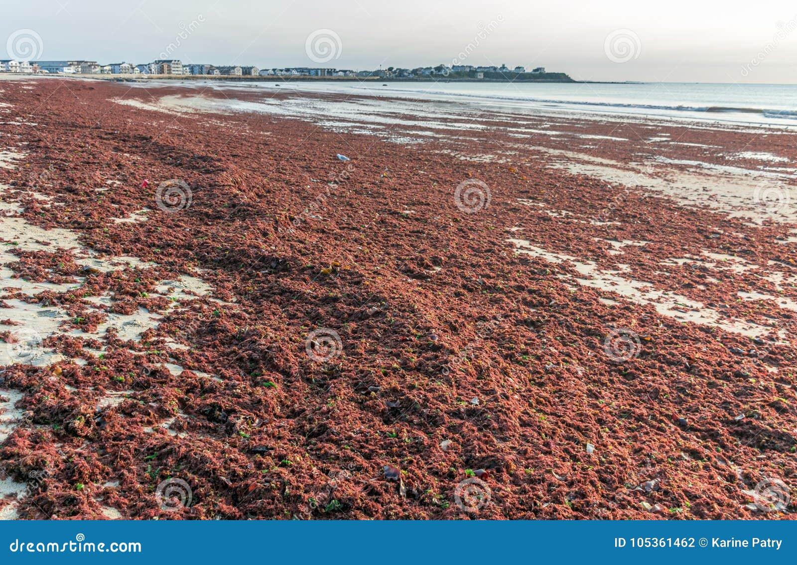 Marée rouge anormale sur Hampton Beach