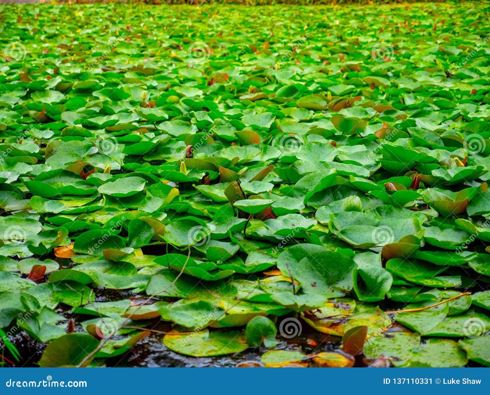 Mar de Lily Pads