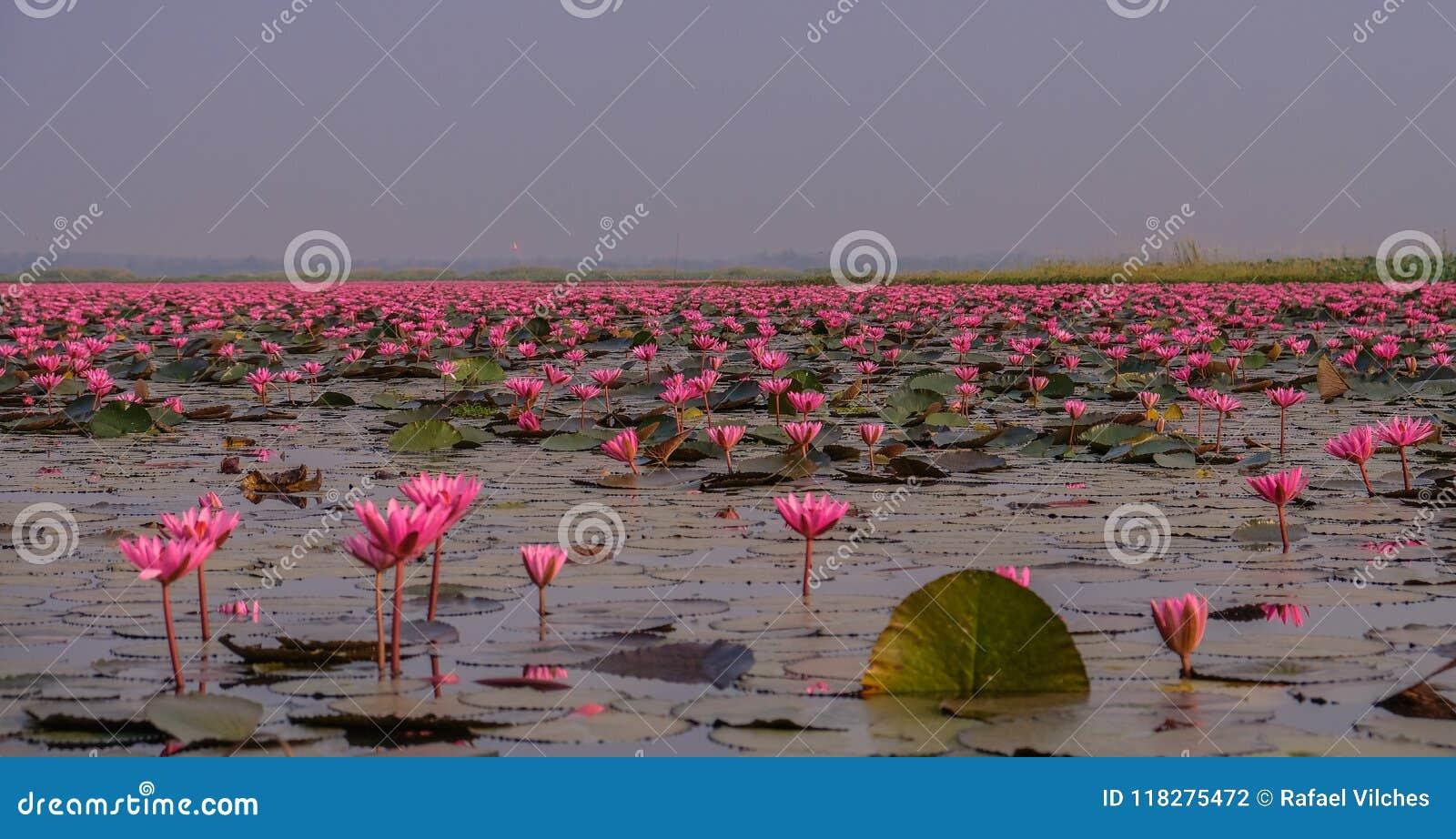 Mar de lotos rojos en Tailandia