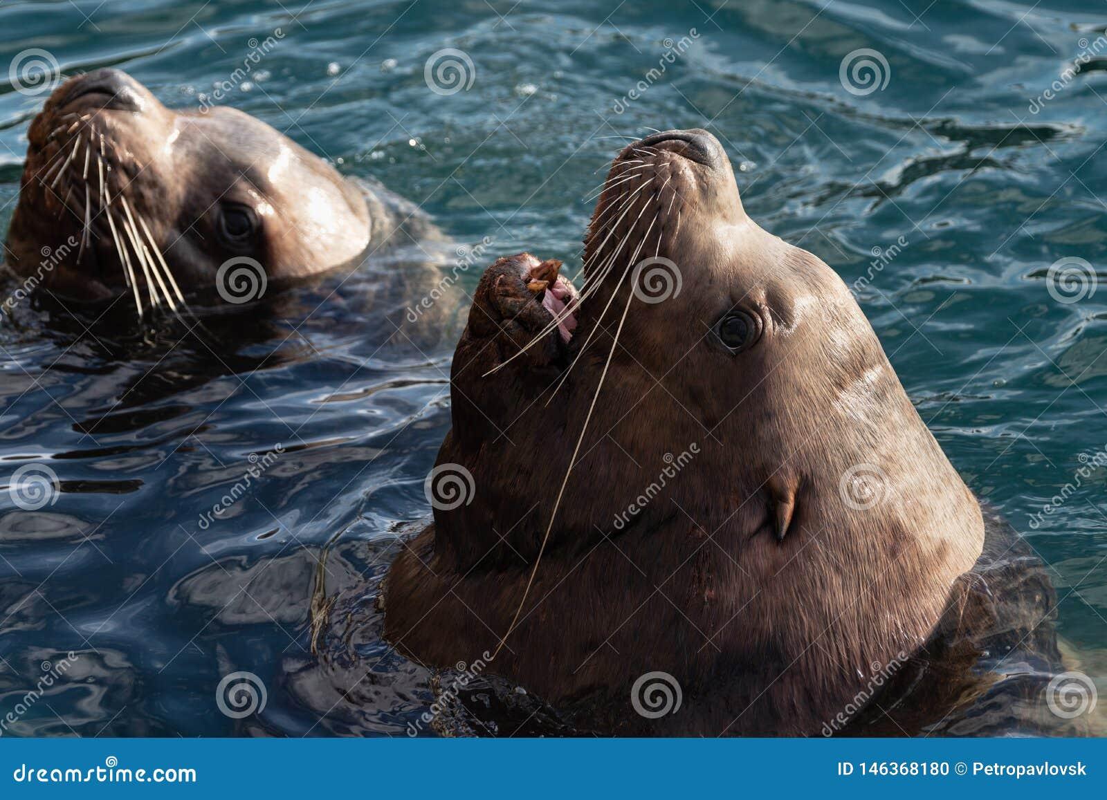 Mar selvagem Lion Eumetopias Jubatus de Steller com nadadas abertas dos colmilhos da boca e dos dentes no Oceano Pacífico das ond