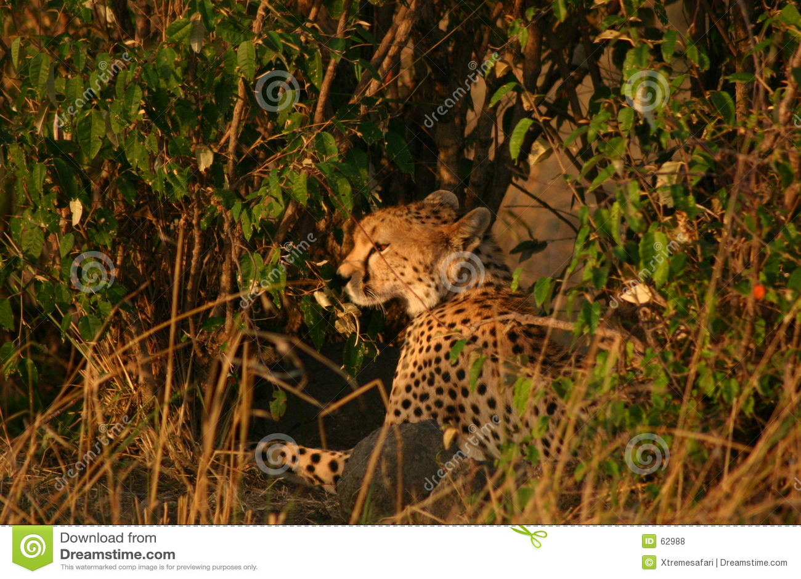 Mara gepardy