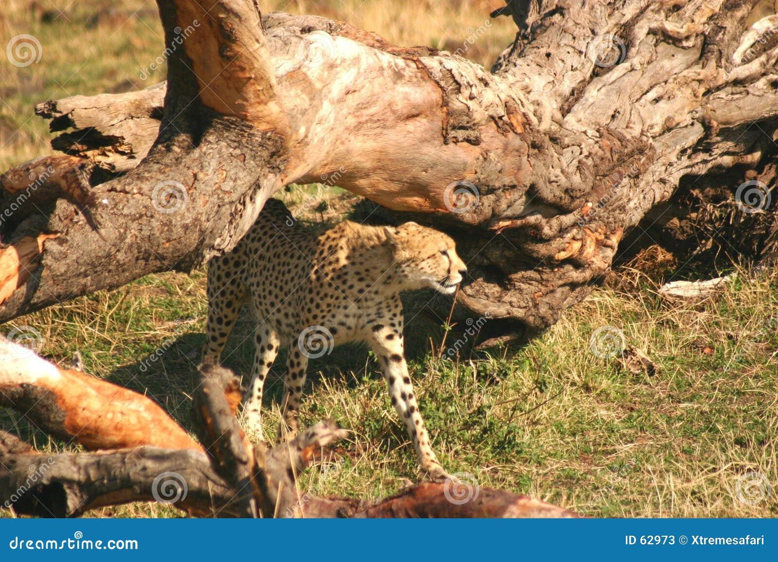 Mara jachtluipaard