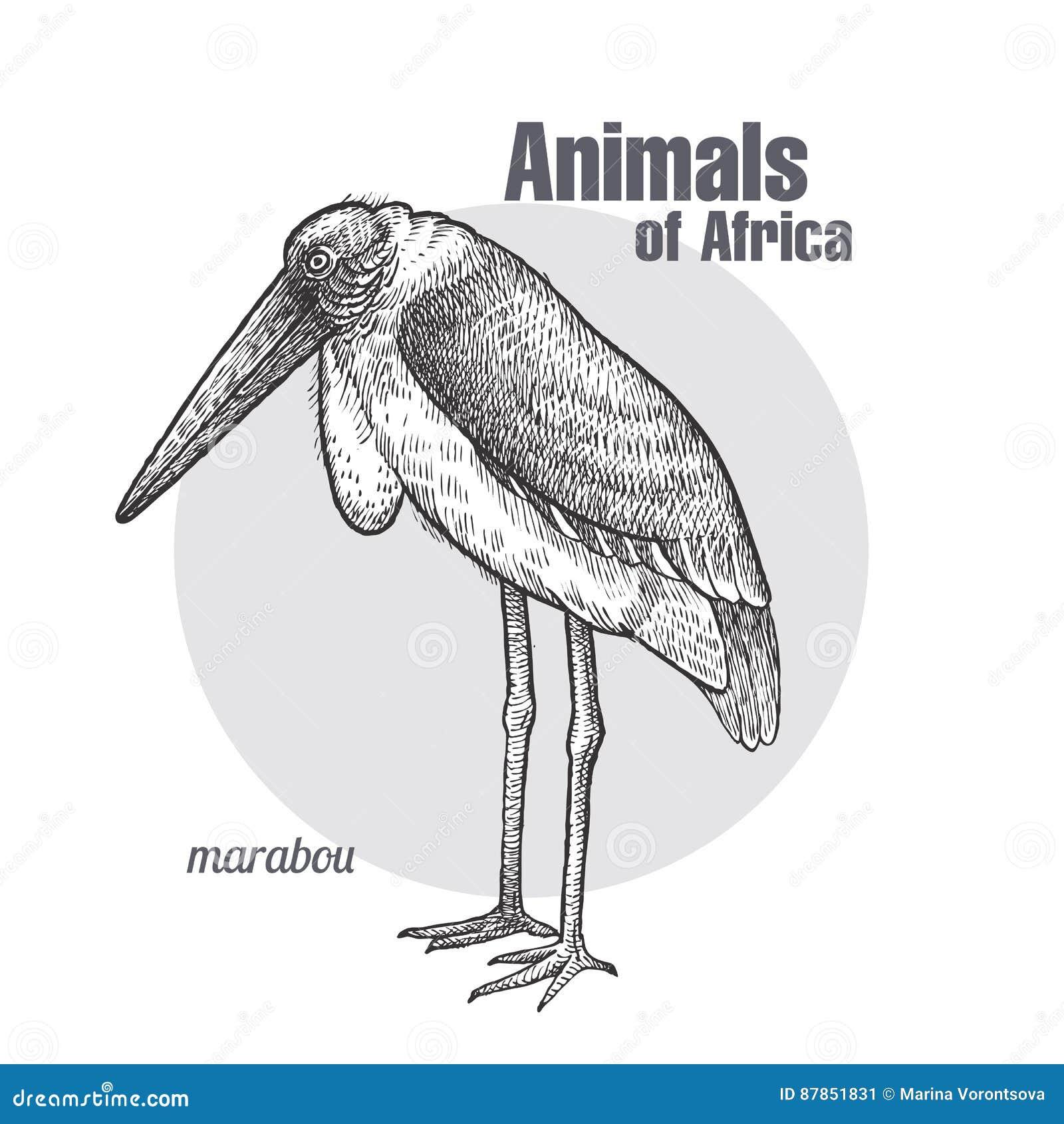 Marabout Africain D Oiseau Illustration De Vecteur Illustration Du Oiseau 87851831