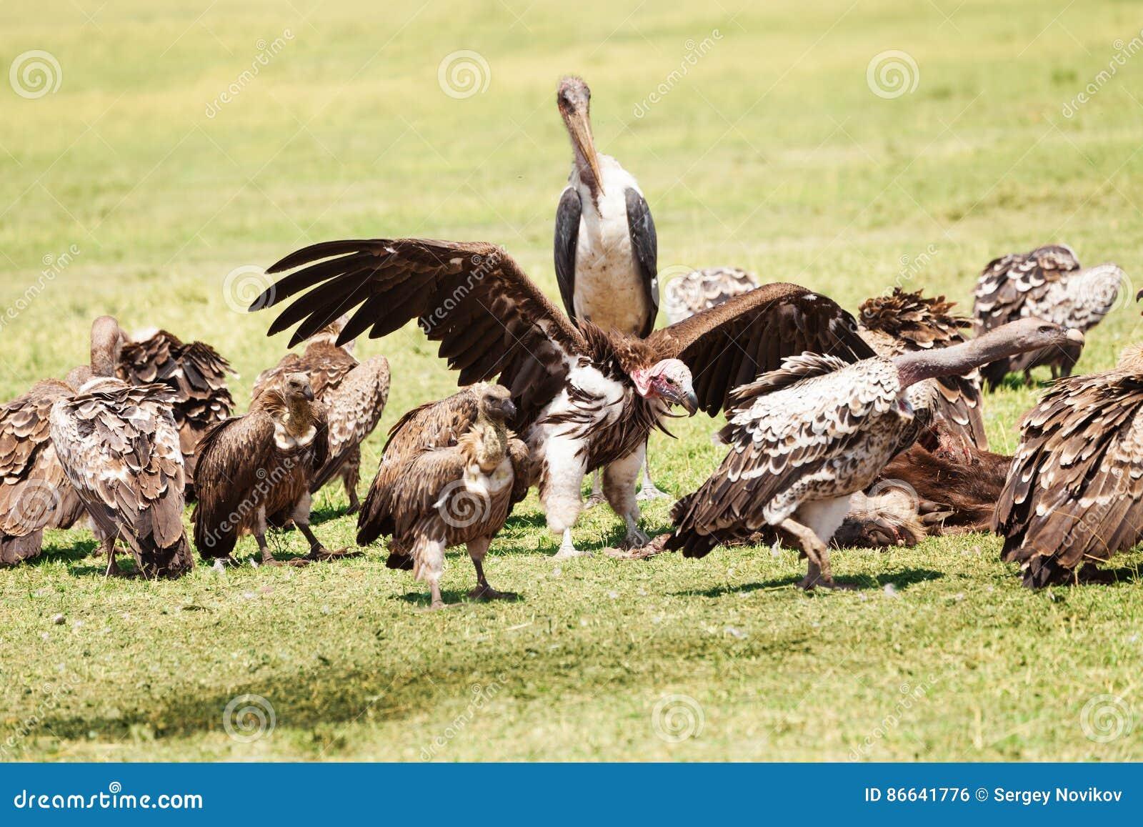 https://thumbs.dreamstime.com/z/marabout-se-tenant-au-milieu-du-troupeau-de-vautours-86641776.jpg