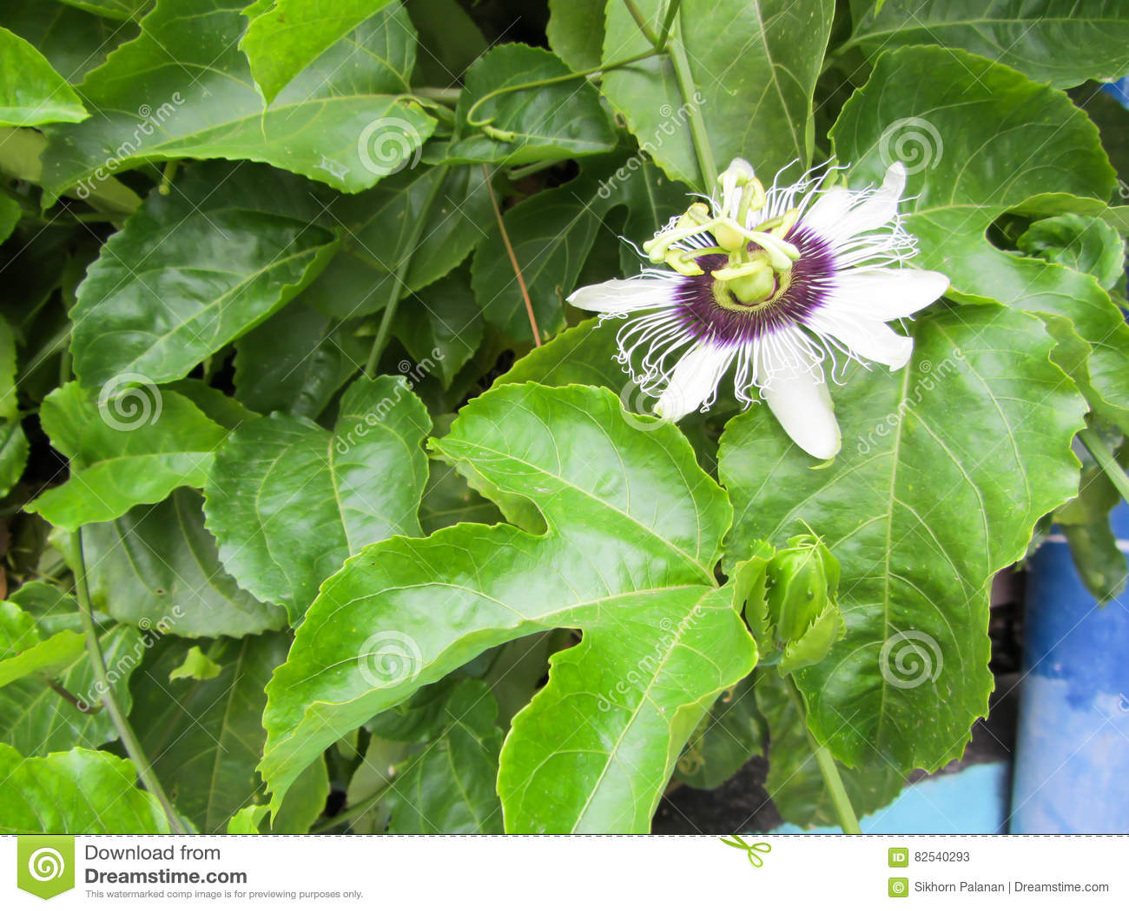 Maracuja Flower Passion Fruit Stock Image Image Of Yellow