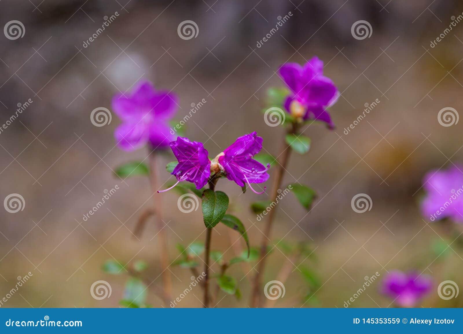 Μόλις ανθίζοντας λουλούδια του άγριου δεντρολιβάνου maralnik στην τοπική διάλεκτο σε Altai