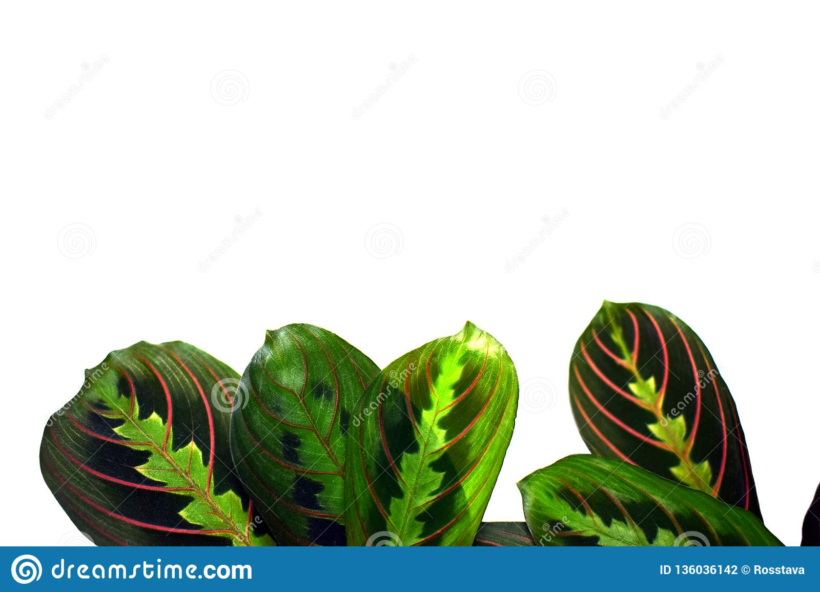 Maranta Leuconeura Prayer Plant Isolated Stock Photo Image Of Freshness Decor 136036142