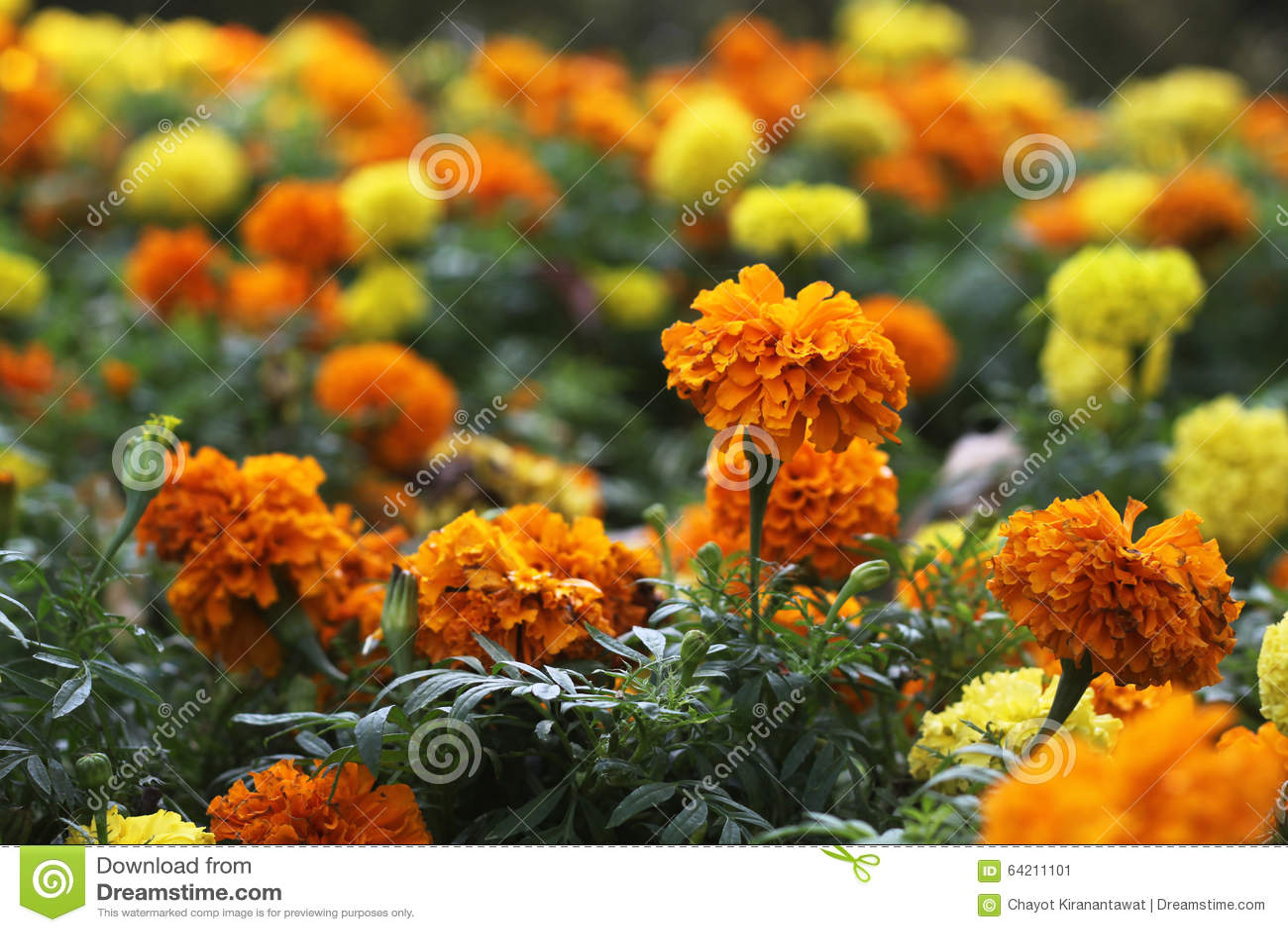 Maravillas amarillas y anaranjadas