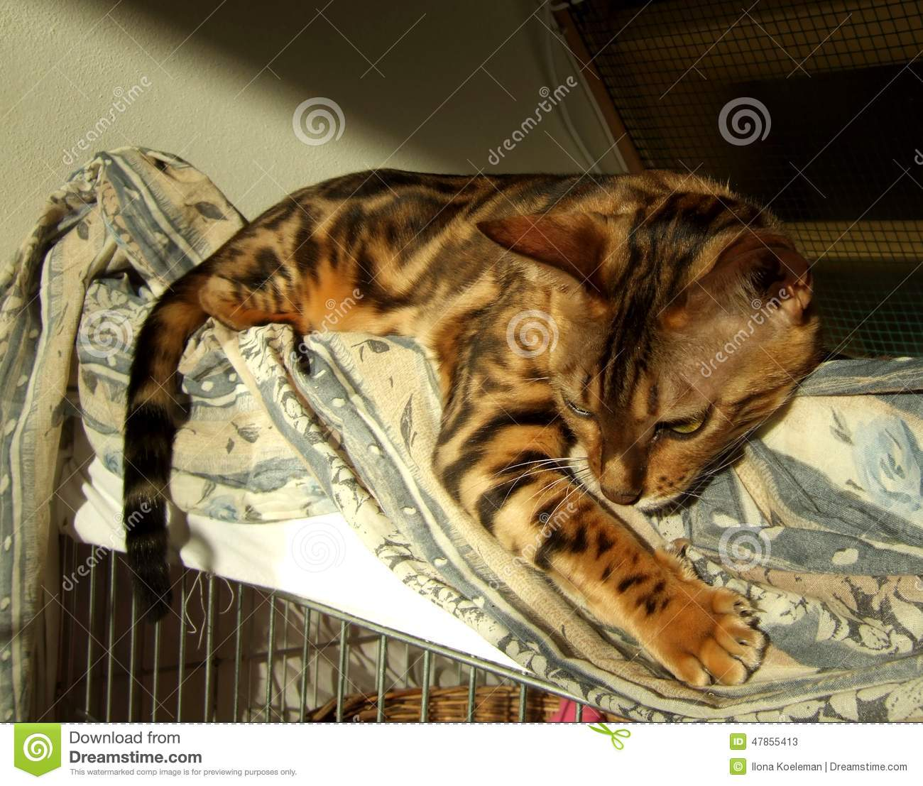 650bd3f741 Bengal Cat  Marble Bengal Cat Relaxing Stock Image - Image of adult ...