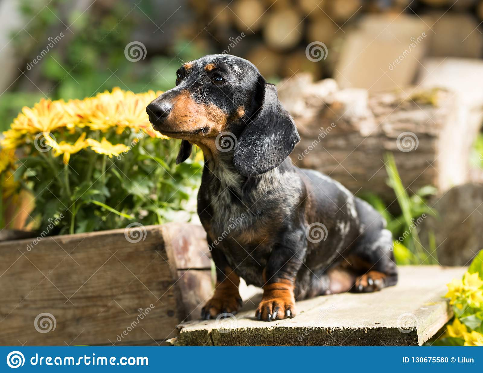 Puppy Dachshund Marble Colors Stock Photo Image Of English