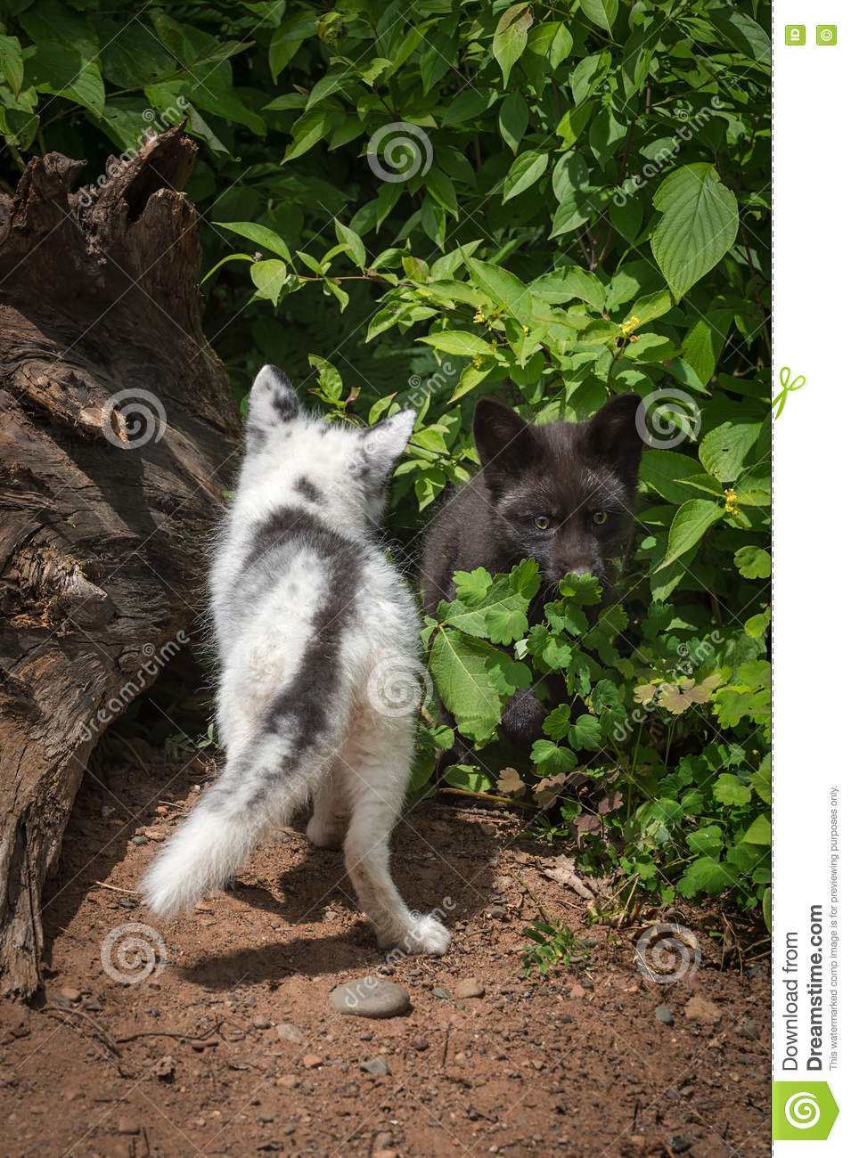 Marble Fox And Silver Fox Vulpes Vulpes Back And Front Stock Image Image Of Youngster Outdoors 81486051
