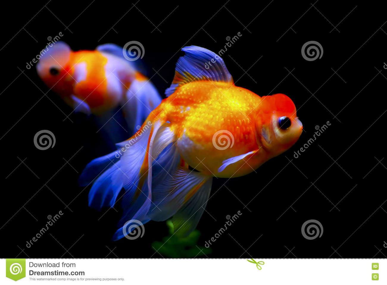 Marble phoenix egg fish stock image  Image of pets, tropical