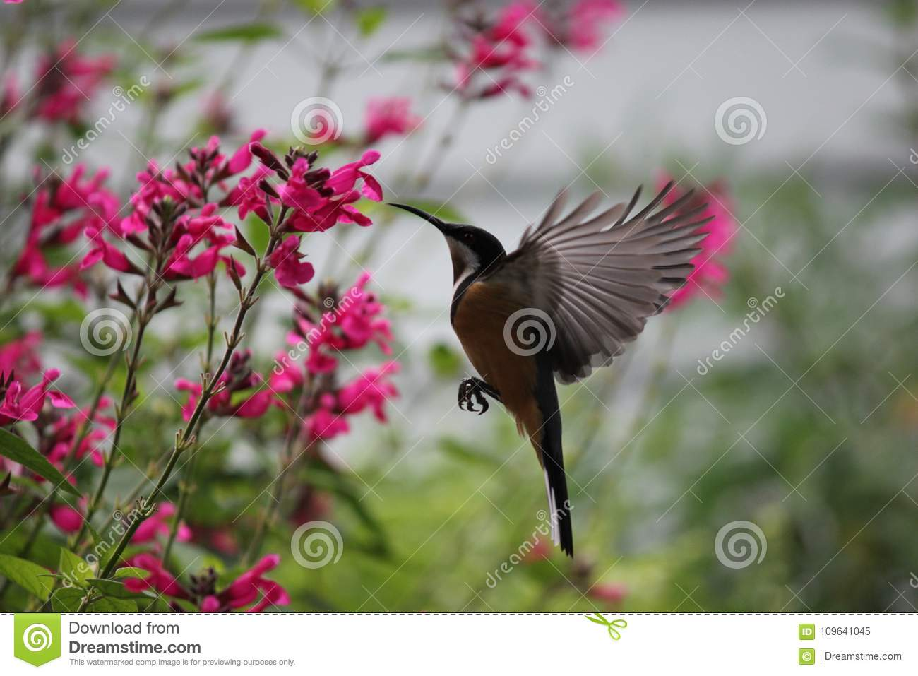 Eastern Spinebill hovering to feed on nectar