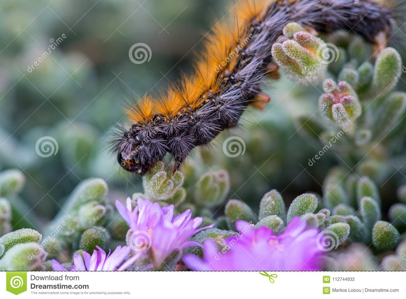 The endemic to Cyprus`March` Caterpillar marching on violet flowers