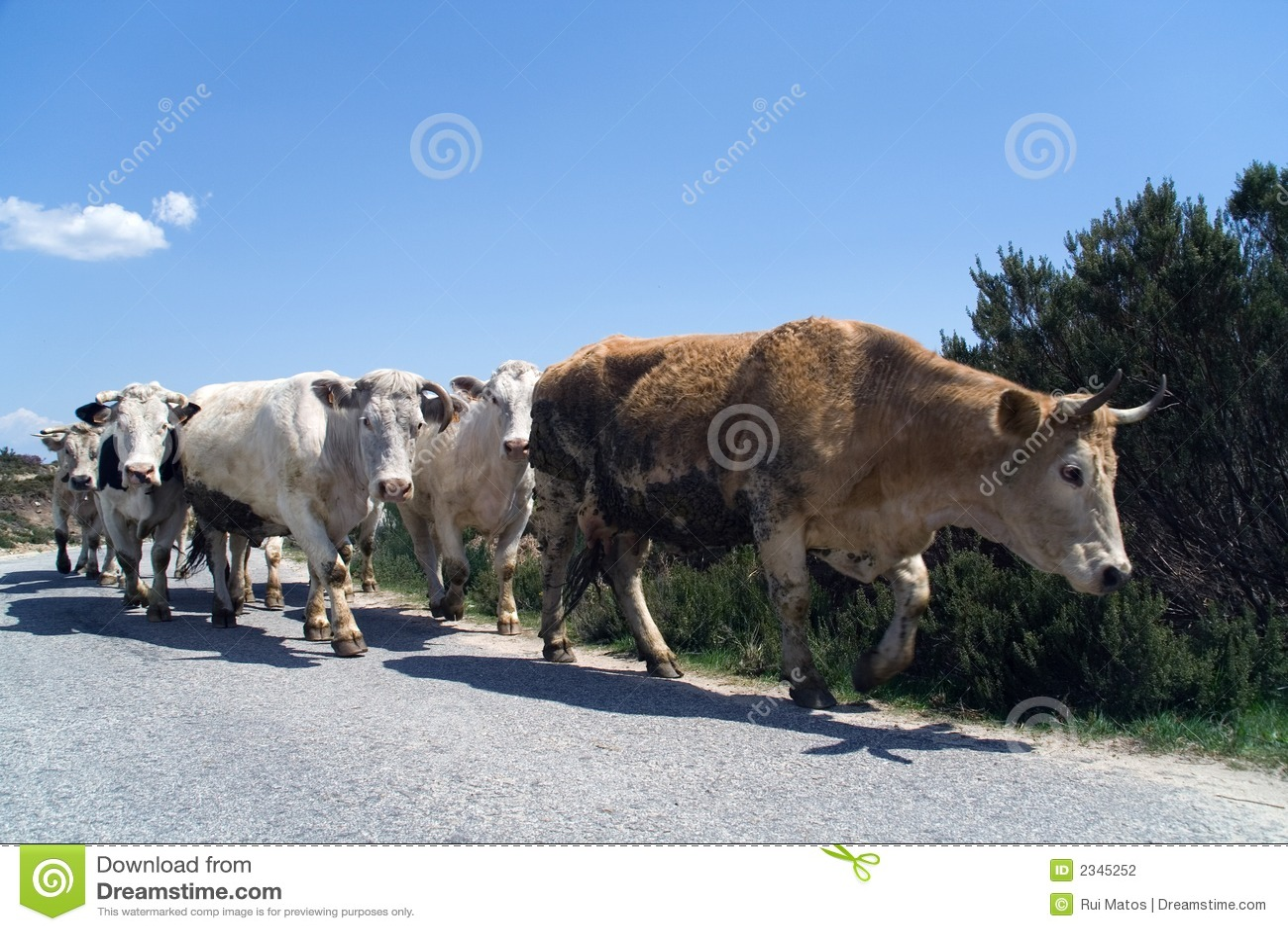 Marcha das vacas