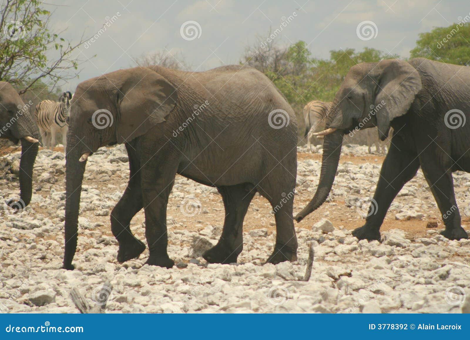 Marche d éléphants