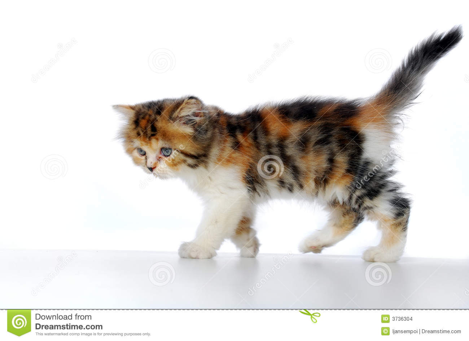 Marche de chaton photo stock. Image du sauvage, animaux ...