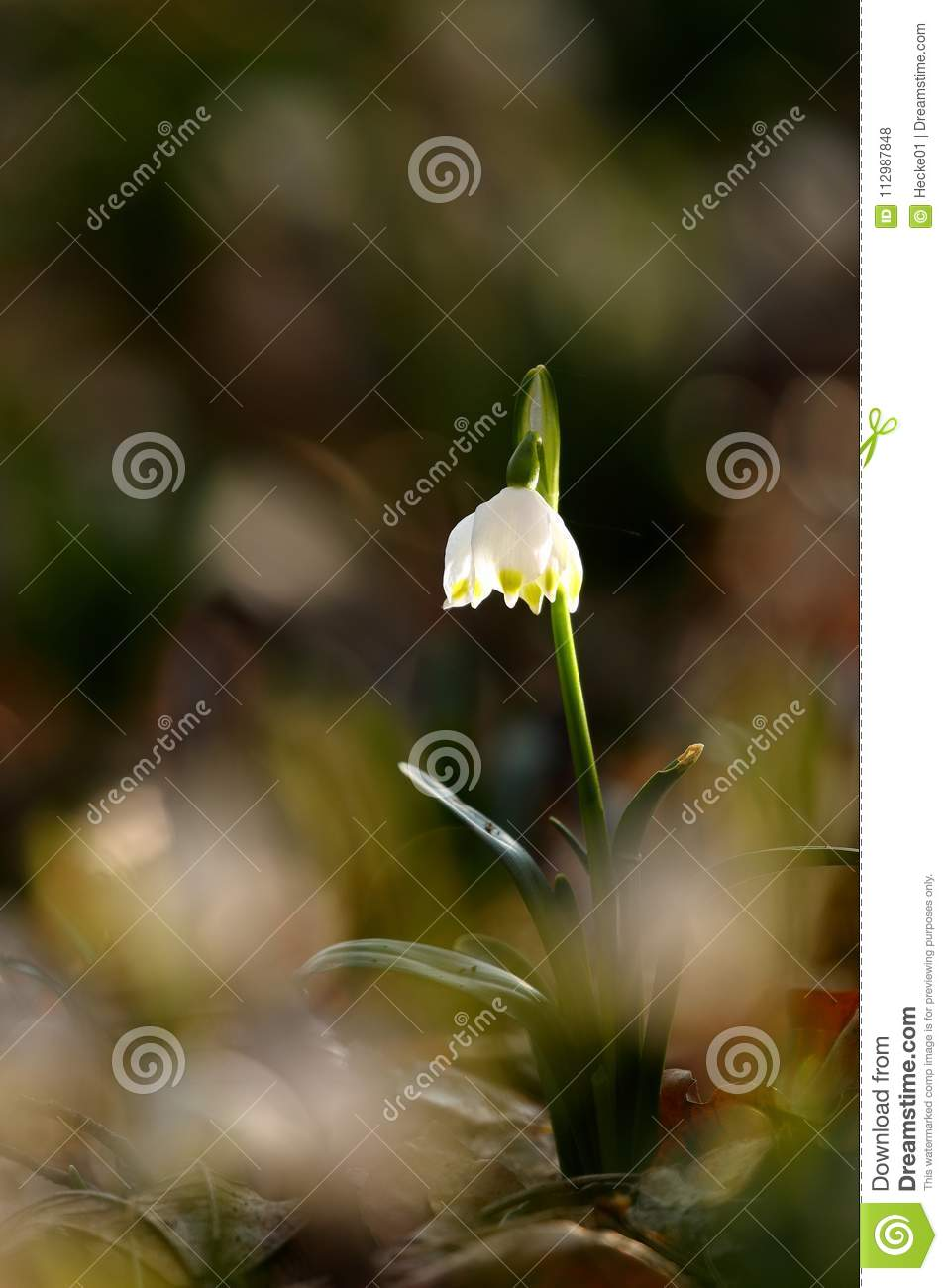 Marching flower with blossom in spring