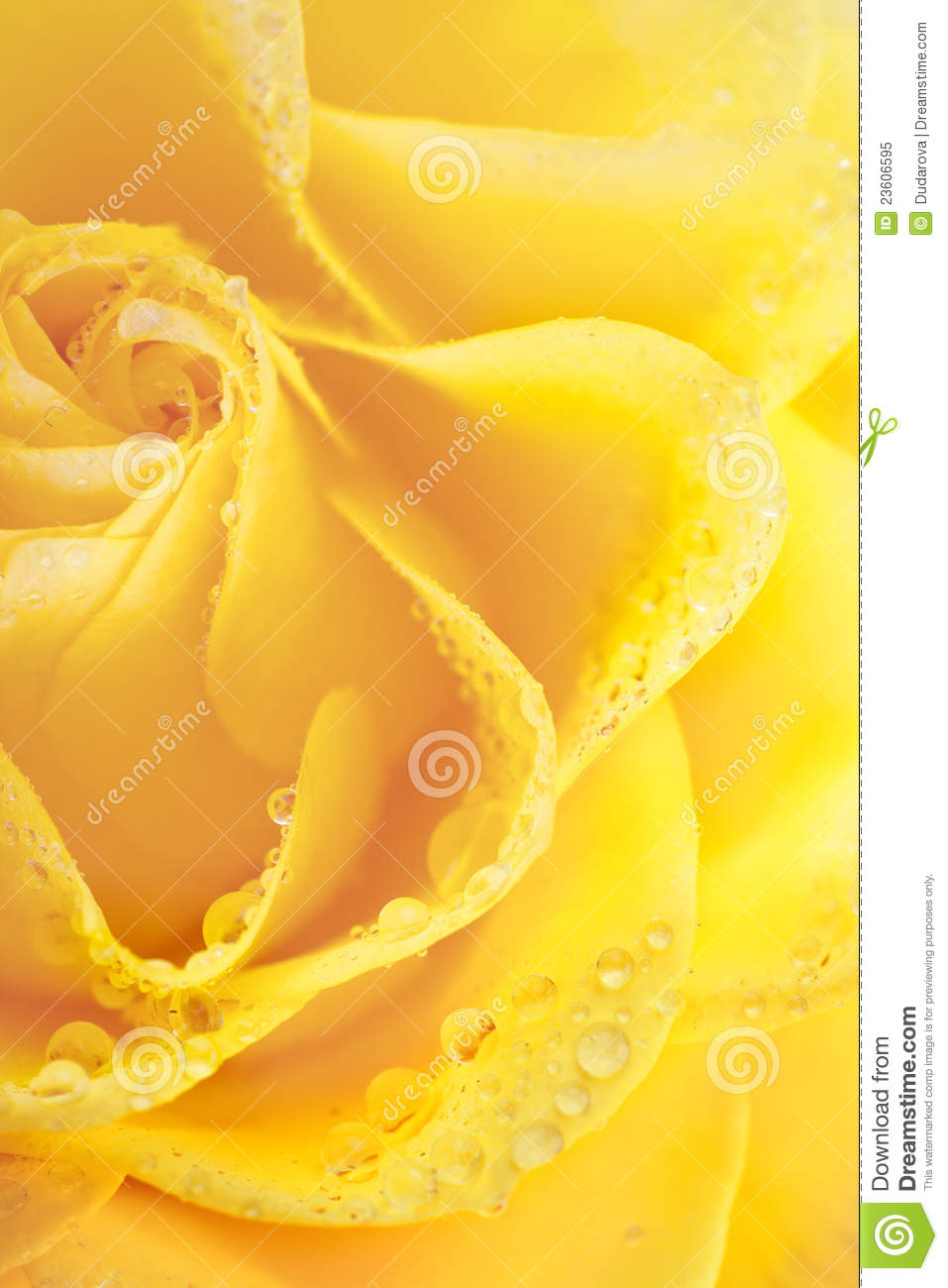 yellow roses with water drops - photo #13