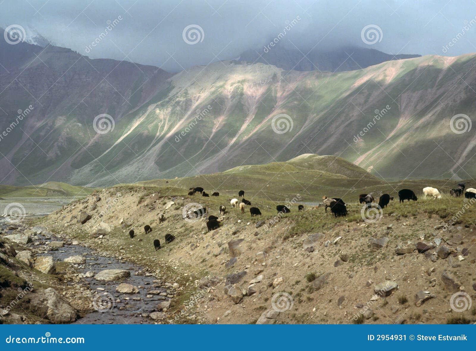 Marco Polo sheep grazing