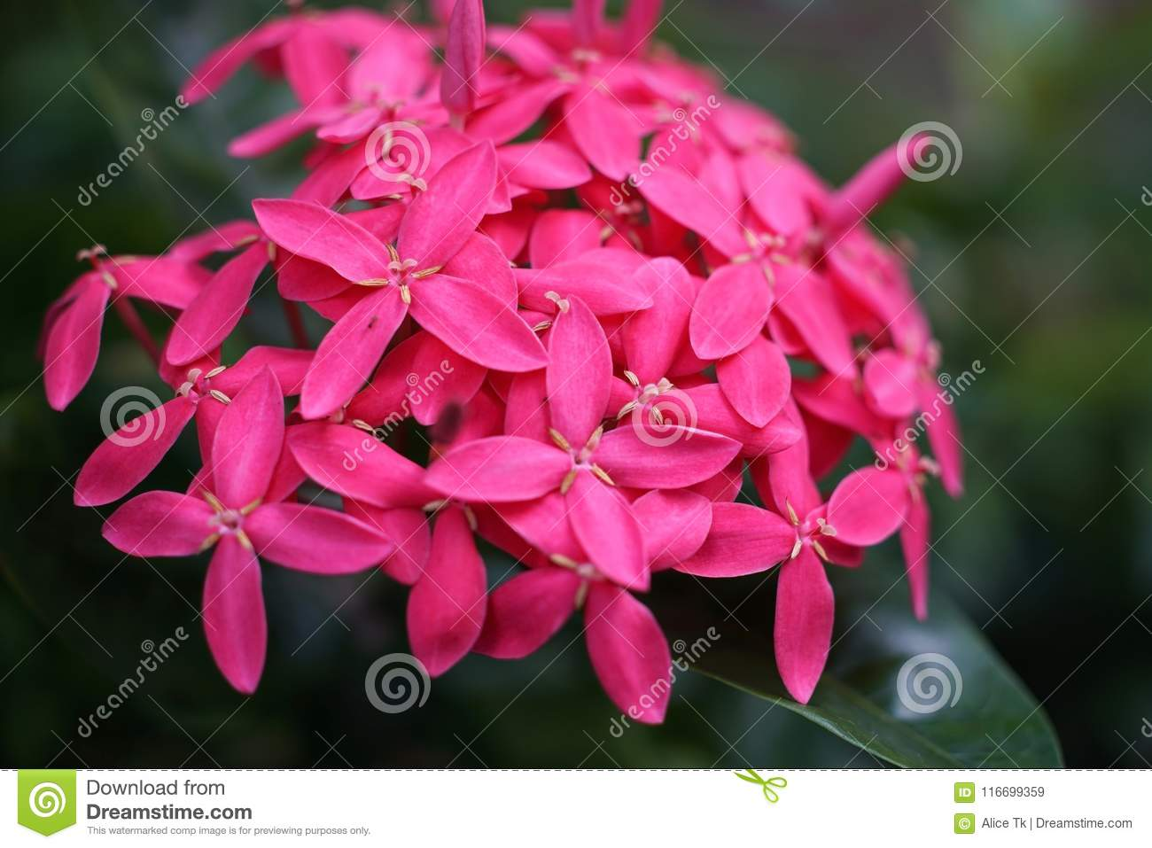 Marco Spike Flower In The Garden In The Morning Stock Image Image