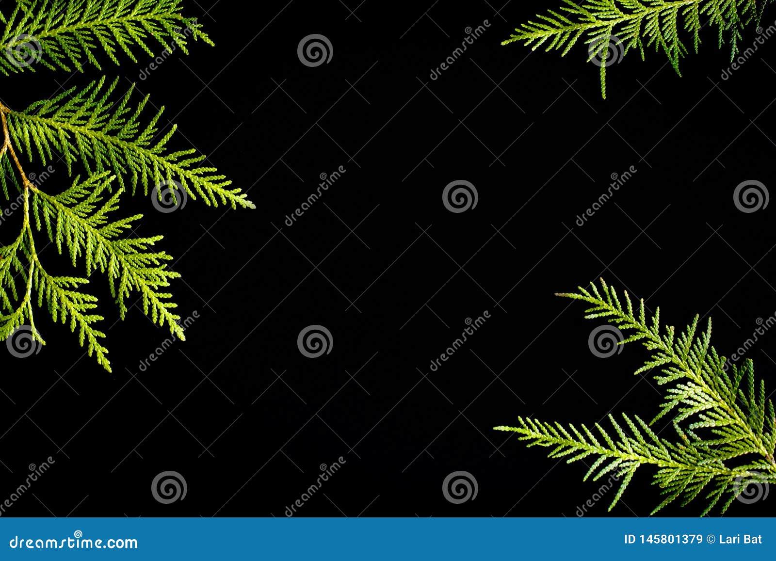 Marco verde de las ramas de árbol del thuja en un fondo negro Textura imperecedera, espacio de la copia