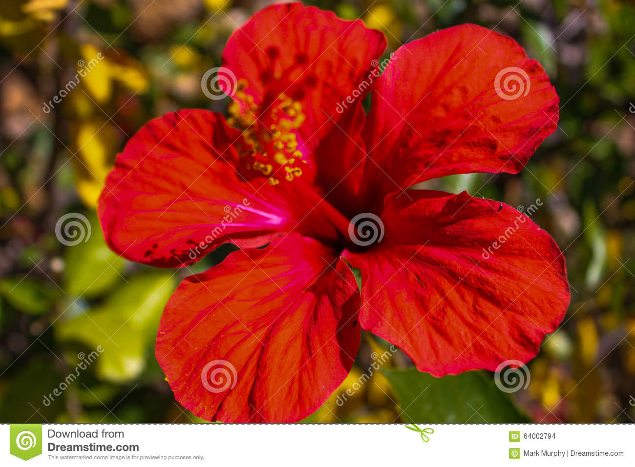 Marcophotography Of Spanish Flower Stock Photo Image Of Hibiscus
